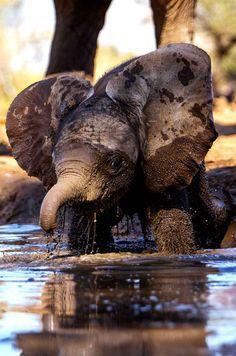 Un bébé éléphant prend son premier bain de boue.