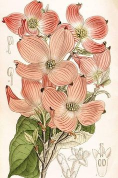 Original Antique Botany Tree 1857 Tinted Print Hand colored Platanus racemosa  Original Tree print