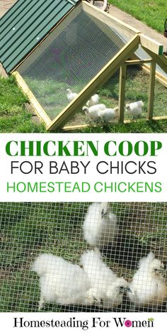 Backyard Chicken Coops |Backyard Chickens |Baby Chicken