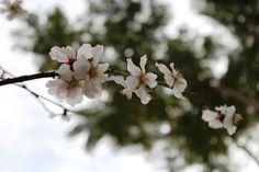 Badem Çiçeği / Almond Blossom  Photo By www.nesedentarifler.com