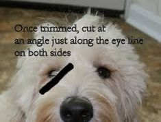 australian labradoodle grooming instructions - I assume this will work just fine with my aussiedoodle Goldendoodle Haircuts, Goldendoodle Grooming, Dog Haircuts, Havanese Dogs, Cockapoo, Standard Goldendoodle, Mini Goldendoodle, Haircut Diy, Haircut Style