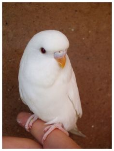 Albino Budgie. My Belle Belle has ghost stripes though. Can see only in the right light.