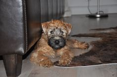Irish Soft coated Wheaten Terrier - Amaing Emma vom Felsenland arrived at home (01.11.2012)
