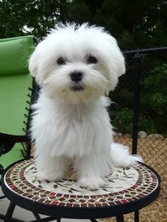 Maltese with puppy cut
