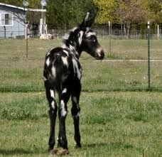 Colorful Mule Foal