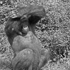 Gorilla The Macarena ! (dance)... 22 (n&b)(h) by Olao-Olavia par Okaio Créations fz 1000