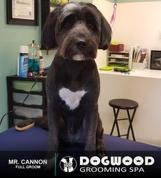 Mr. Cannon is in the house for a Full Groom @ Dogwood Grooming Spa - Knoxville!  Visit our website @ dogwoodgroomingspa.com or Call us at (865) 297-4277 to book an appointment for your pet!  #creativegroomer #petstylist #dogwood #dogwoodgroomingspa #petgroomerknoxville #petgroomer #petgrooming #doggrooming #doggroomer #cityspotz #knoxville #knox #knoxvilletn