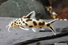 picture of Green Leopard Synodontis Catfish Hybrid Reg Synodontis multipunctatus x Synodontis petricola