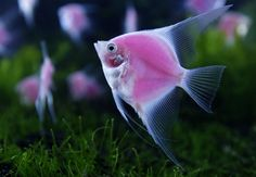 Genetically engineered fish (Archocentrus nigrofasciatus var.) glow in a tank
