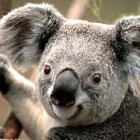 """Koala bears are not actually """"bears"""" they are just called like that because of their teddy bear look! The koala bear is closely related to the. Funny Koala, Cute Koala Bear, Koala Meme, Baby Koala, Koala Bears, Funny Animal Memes, Funny Animals, Cute Animals, Farm Animals"""