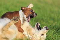 calmer deux chiens qui se bagarrent My Best Friend, Best Friends, Healthy Pets, Westies, Border Collie, Dog Training, Panther, Boxer, Funny Animals