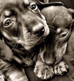 Dachshund puppies -- For Puppy Fridays from Underdog Rescue of Arizona Dachshund Funny, Arte Dachshund, Dachshund Puppies, Dachshund Love, Cute Puppies, Cute Dogs, Dogs And Puppies, Daschund, Dogs 101