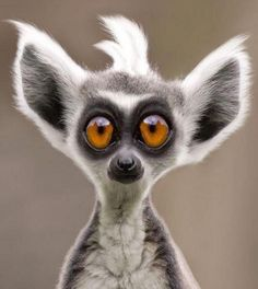 Lemurs are a species of endemic monkey from Madagascar. Funny Animal Faces, Funny Animal Photos, Funny Faces, Animal Pictures, Funny Animals, Funny Pictures, Cute Animals, Good Morning Picture, Morning Pictures