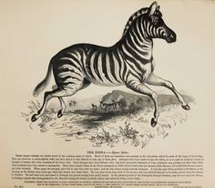 1840s Antique Animal Print, Large Black & White Wood Engraving, African…
