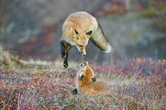 """""""Red fox, Alaska"""". A Red Fox frolicking in the fall colors of Denali National Park and Preserve, Alaska. (Photo by Dee Ann Pederson/Smithsonian Wilderness Forever Photo Contest)"""