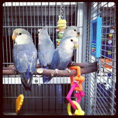 Violet peachface lovebirds