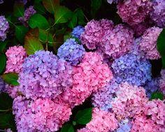 Rhododendron Vs. Hydrangea | Hunker