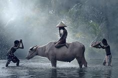 Water Buffalo ( cool ver.) - Children in rural villages of southeast Asia are very connected to their animals. Scene of them bathing their buffaloes used to be very common. Now it is getting harder to see in some countries because they are very much replaced by machineries.