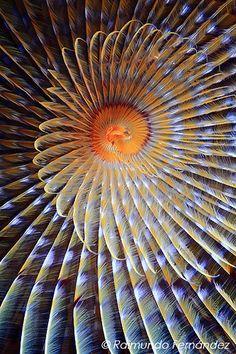 Spirographis spallanzani, fan worm