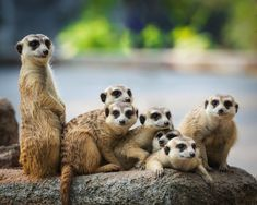 Meerkat, animals, family, 4k wallpaper