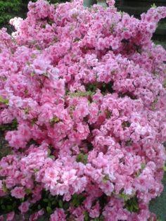 My neighboor's flowers :)