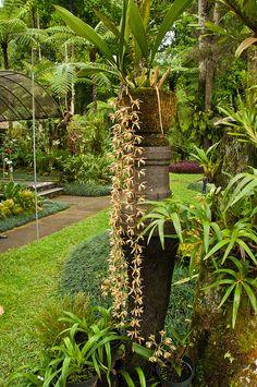 Bali Botanic Gardens - Coelogyne flaccida