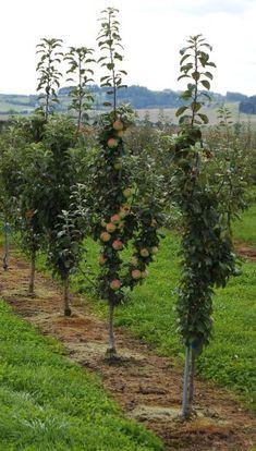 Jabloně: Stromky tohoto typu se mohou sázet na vzdálenost menší než jeden metr, foto 3 Plants, Gardening, Plant, Planting, Planets