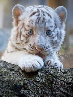 White Bengal Tiger Cub. Those eyes are so great!