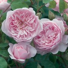 Wisley 2008 - David Austin; pure soft pink, double full bloom, hardy, fruity fragrance with hints of raspberries and tea, excellent repeat, elegant arching growth  4ft x 2.5ft