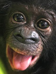 Bonobo baby Sambo looks into the camera in the zoo of Frankfurt, Germany, Tuesday, April 24, 2012. The male chimpanzee baby was born on January 7 and had to be raised by hand.