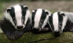 Adorable badger cubs