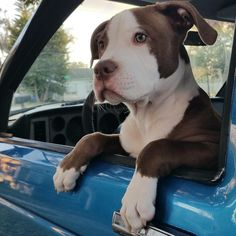 Are we going for a ride ????? Pitbull Branco, Cute Dogs, Sweet Dogs, I Love Dogs, All Dogs, Cute Puppies, Pit Bulls, Bullies, Beautiful Dogs