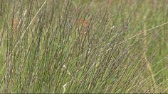 Planten | Borstelgras (Nardus stricta) | Ecopedia | Bouwen aan groenexpertise