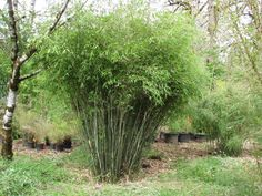 Cold Hardy Clumping Bamboo (great option for regions with winter. Clumping bamboo stays within bounds versus Running bamboo which spreads out quickly. Bamboo Plant Care, Bamboo Hedge, Bamboo Garden, Bamboo Tree, Garden Plants, Plants Near Me, Big Plants, Bamboo Landscape, Landscape Design