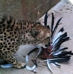 Feather plucking enrichment (Caldwell Zoo)  Interesting use for our throw away feathers!