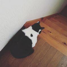 みーさん兄が出掛けている時は階段で待機 #白黒猫 #ねこ #neko #cat #はちわれ