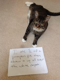 The best of cat shaming - Part 4 - Boo Fckm HooBoo Fckm Hoo Funny Animal Memes, Funny Cat Videos, Funny Animal Pictures, Cat Memes, Funny Animals, Cute Animals, Animal Humour, Animal Funnies, Animal Antics