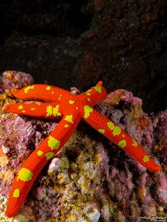 There are some 2,000 species of sea star living in all the world's oceans, from tropical habitats to the cold seafloor. The five-arm varieties are the most common, hence their name, but species with 10, 20, and even 40 arms exist.