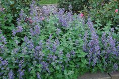 Versatile Long-blooming Catmints   What Grows There :: Hugh Conlon ...