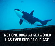 Wild orcas have an average life expectancy of 30-50 yrs! The median age of orcas in captivity is 9.   #CaptivityKills pic.twitter.com/7rVPpku7i7
