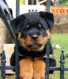 Rottweiler Photos Pictures Rottweilers - Puppies for Sale, Dogs for Sale, Puppies, Gallery Photos of Rottweiler Dog Breeds, Dog Breeders. Cute Puppies, Cute Dogs, Dogs And Puppies, Doggies, Chihuahua Dogs, Beautiful Dogs, Animals Beautiful, Top 10 Dog Breeds, Pet Breeds