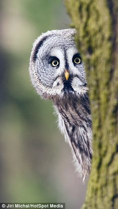 Great grey owl appears to play hide and seek with photographer in theCzech Republic | Daily Mail Online