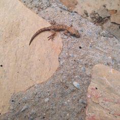 - Akdeniz Sakanguru / Geniş Parmaklı Keler (Hemidactylus turcicus)  Kategori: Sürüngenler  - Mediterranean House Gecko (Hemidactylus turcicus)  Category: Reptilia