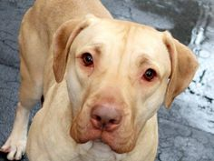 TO BE DESTROYED 12/29/14  Manhattan Center   PINKY - A1023585  *** NEW HOPE ONLY ***  SPAYED FEMALE, TAN / WHITE, PRESA CANARIO MIX, 1 yr, 10 mos OWNER SUR - EVALUATE, NO HOLD Reason PERS PROB