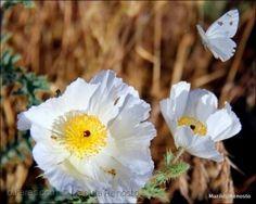 White poppies in macro II