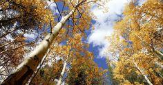 Free 4K stock video of autumn fall foliage Aspen trees stock footage