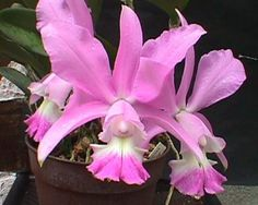 Dolose Cattleya - Native to Brazil. Cattleya dolosa grows on rock outcroppings or sometimes trees.