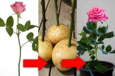 If someone special has given you a beautiful rose, and you would like to keep it alive forever, this trick is for you! Today we teach you how to root a cut rose , in the simplest and most practical way, with this fabulous gardening trick. Look how to root a cut rose , to...