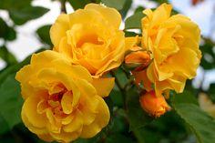 Lyckas med klätterrosor – bästa sorterna och tipsen Yellow Climbing Rose, Climbing Roses, 1 Rose, Rose Bush, Clematis, Yellow Roses, Red Roses, Kordes Rosen, White Flower Farm