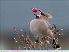 Bird catching a berry